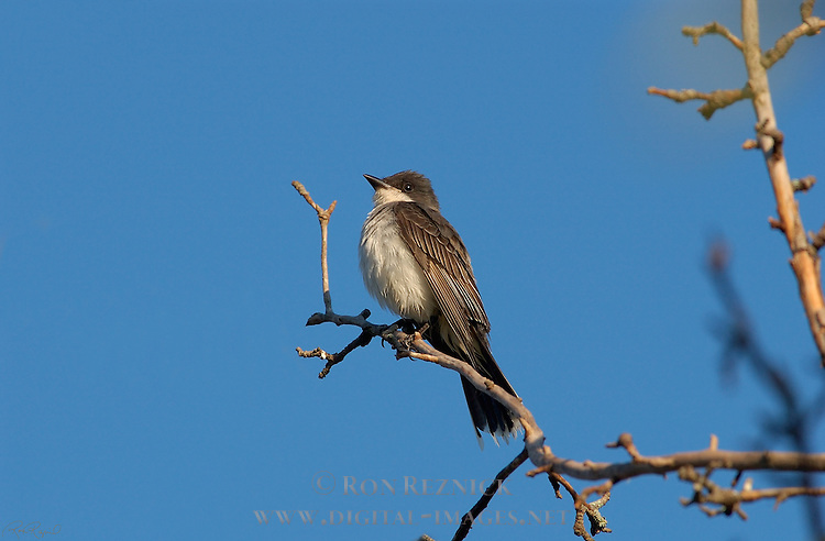 Eastern Kingbird Tyrant Flycatcher Catskill Mountains New York
