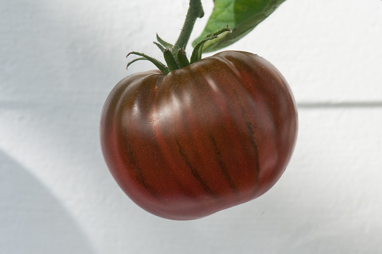 Tomato 'Noire de Crimee', glasshouse, late September. Sometimes known as 'Black Krim', it is a striped, nearly black-skinned heritag4 tomato.