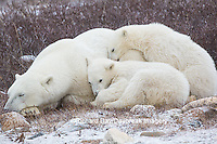 01874-13620 Polar Bears (Ursus maritimus) female with 2 cubs sleeping, Churchill, MB Canada