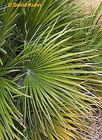 1202-0802  Mediterranean Fan Palm, Detail of Fan Palm Leaf, Chamaerops humilis  © David Kuhn/Dwight Kuhn Photography