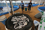 Palestinian men carry fish at a fish farm, in Gaza city, on Sept. 14, 2017. Photo by Mohammed Asad