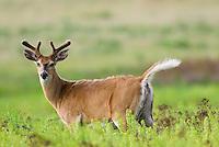 White-tailed Deer (Odocoileus virginianus) buck.  Western U.S., Spring.