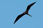 Magnificent Frigatebird (Fregata magnificens) in fly over Isla Pacheca shore. Las Perlas Archipelago, Panama province, Panama, Central America.