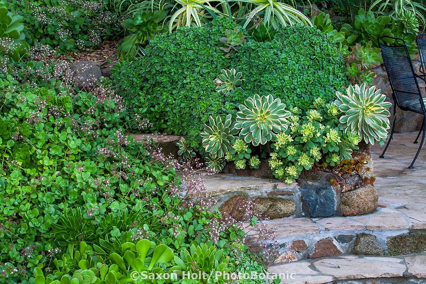 Aeonium haworthia shrub with Aeonium 'Sunburst' (lrg. rosettes) and Aeonium 'Kiwi' (sm. rosettes). Crassula multicava in bloom, various Aeoniums in lower left. Debra Lee Baldwin succulent garden
