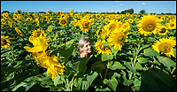 BNPS.co.uk (01202 558833)<br /> Pic: PhilYeomans/BNPS<br /> <br /> Summers here - If only for one day!<br /> <br /> A pick your own sunflower farm near Christchurch in Dorset was expecting a rush of secateur wielding customers today, as the wet summer holiday weather finally relented...more rain is however forecast for next week.