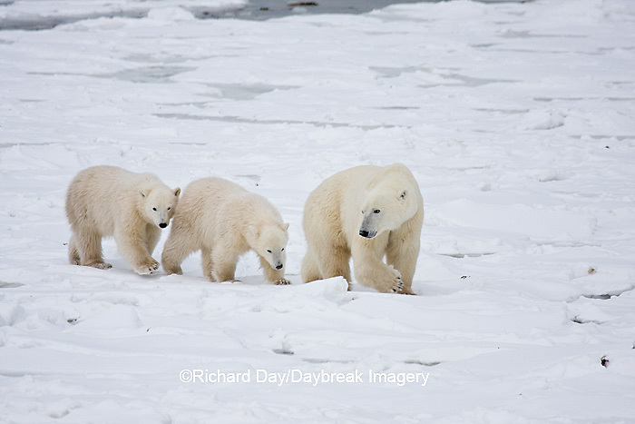 01874-11606 Polar Bears (Ursus maritimus) female and 2 cubs, Churchill Wildlife Management Area,  MB