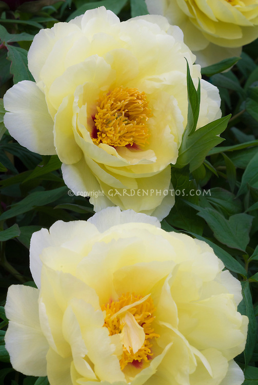 Peony Paeonia High Noon S Yellow Plant Flower Stock