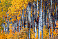 Fall trees (Poplars) near Grand Cache, along the Bighorn Highway Alberta Highway 40, Alberta, Canada.