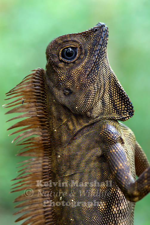 Male Borneo Forest Dragon  (Gonocephalus borneensis) <br />