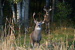 White-tailed bucks in northern Wisconsin