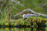 Adult female Common Merganser (Mergus merganser) loafing on a mass covered log. Olympic National Park, Washington. March.