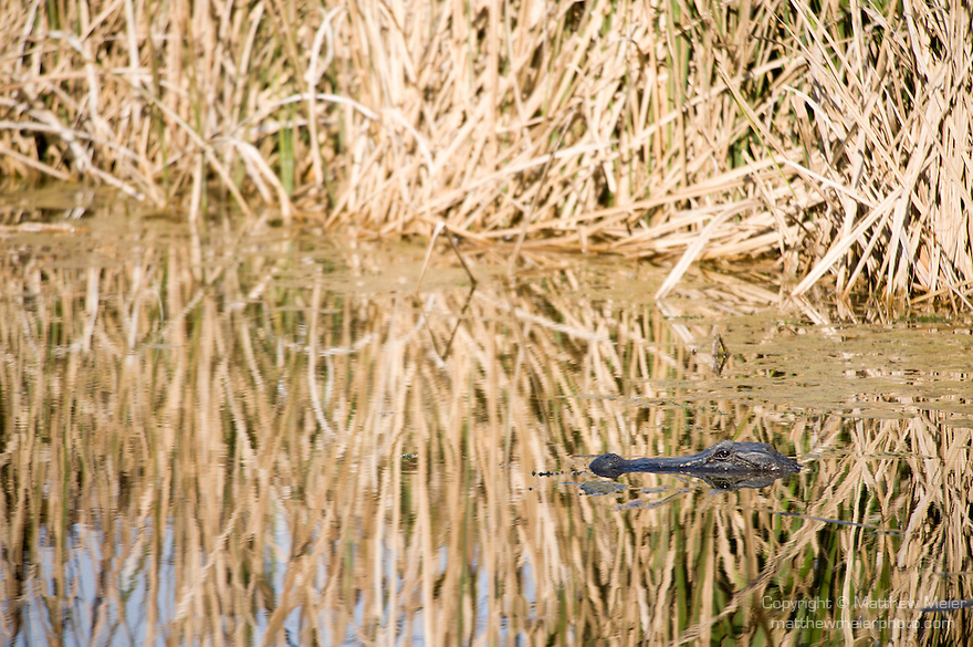 Columbia Ranch, Brazoria County, Damon, Texas; an adult American Alligator (Alligator mississippiensis) floating with it's head exposed in the slough, in the reflections of the bull rush