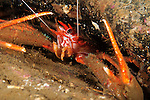 Long Clawed Squat Lobster