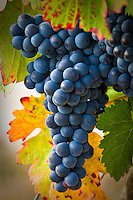 Tempranillo Grapes in the La Rioja wine growing region of North West Spain. Photo: joliphotos.com