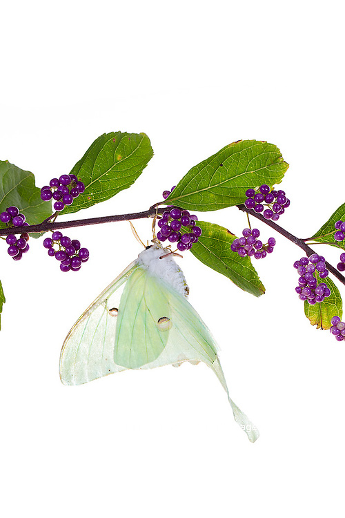 30040-00109 Luna Moth (Actias luna) on American Beautyberry (Callicarpa americana) on white background, Marion Co., IL