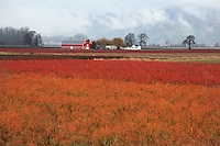 Blueberry fields near Woodland, Washington