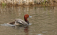 A redhead drake about to take flight.<br />