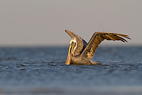 Adult Brown Pelicans (Pelecanus occidentalis) about to takes flight after capturning a fish in the coastal shallows of a barrier island.  Terrebonne Parish, Louisiana. October.