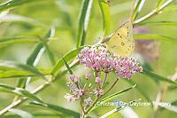 03074-00602 Orange Sulphur (Colias eurytheme) on Swamp Milkweed (Asclepias incarnata) Marion Co. IL