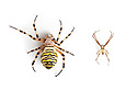 Wasp Spiders {Argiope bruennichi} female (left) and male (right) showing sexual dimorphism. Photographed on a white background. Midi-Pyrenees,  Pyrenees, France. August. Digital composite.