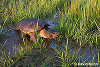 0611-0917  Snapping Turtle Exploring Pond Edge, Chelydra serpentina  © David Kuhn/Dwight Kuhn Photography