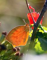 Winter form tailed orange