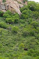 Olifant (Loxodonta africana)