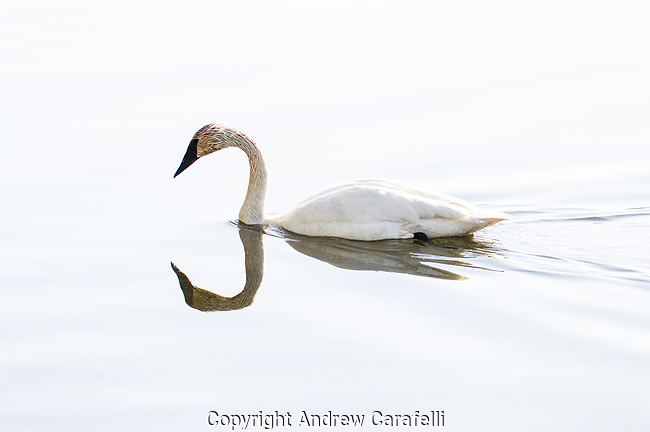 A Trumpeter Swan glides effortlessly over calm waters in Teton National Park, Wyoming. Trumpeters are the largest North American waterbirds with wing spans reaching up to 7 feet across.