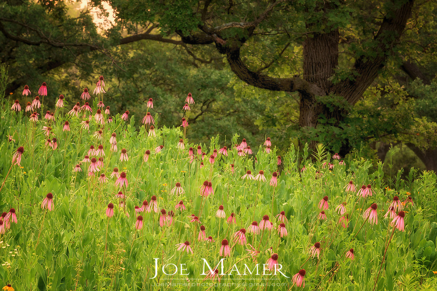 Field of purple coneflower with mature oak trees in central Minnesota.