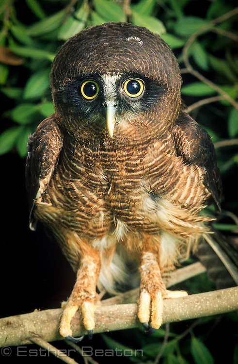 Rufous Owl (Ninox rufa) male, breast feathers ruffled. From northern Australia