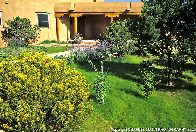 A lawn of Blue Gramma, Bouteloua gracilis, along with some native shrubs and  trees creates a drought tolerant and natural looking lawn alternative in this landscape designed by  Julia Berman of Santa fes Fe.