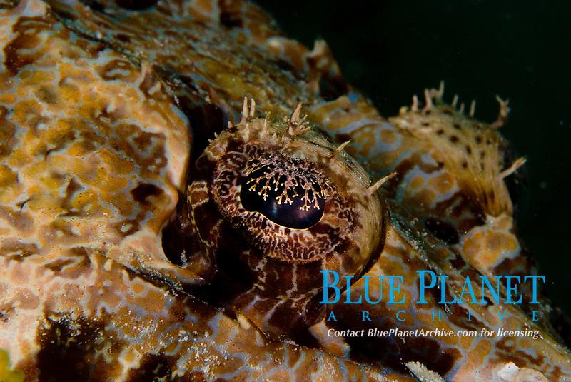 Crocodile fish, Cymbacephalus Beauforti, close-up of crocodile fish eye, predatory bottom dwelling fish using camouflage to ambush prey, Raja Ampat, West Papua, Indonesia
