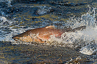 Chinook or King Salmon (Oncorhynchus tshawytscha) trying to swim through a shallow area of stream (low water) on its fall spawning migration.  Pacific Northwest.  These are wild and not hatchery fish.