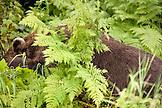 USA, Alaska, grizzly bear sleeping in ferns, Redoubt Bay