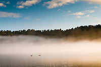 Misty morning at Lake Wahapo with pair of swans - Westland National Park, West Coast, New Zealand