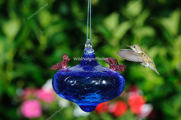 Hummingbird at a blue glass backyard hummingbird feeder