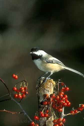 Blackcapped chickadee, Poecile atricapillus, standing on perch growing with red hawthorne berries