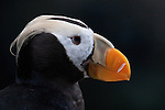 Profile of a tufted puffin, captive