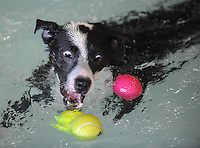 NWA Democrat-Gazette/ANDY SHUPE<br /> Rosie, a 1-year-old dog owned by Mindy Bradley of Fayetteville, reaches to grab a ball Saturday, Aug. 22, 2015, while swimming in the children's pool during the Pooch Pool Party at The Jones Center in Springdale. The facility held the event before draining the pool to begin planned improvements and repairs. Visit nwadg.com/photos to see more photographs from the event.