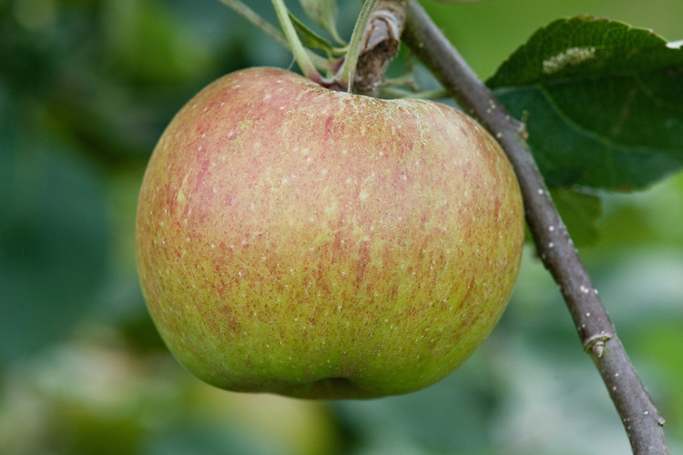 Apple 'Belle de Boskoop', early September. A Dutch dual-purpose, dessert-culinary apple first discovered at Boskoop, near Gouda, in 1856. Grown all over Europe, and quite common in British gardens. A triploid that requires a pollinator. Sometimes sold as 'Schone van Boskoop'.