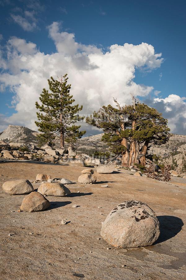 Sierra Juniper, glacial erratic boulders, Olmsted Point, Yosemite-Tioga Pass Highway