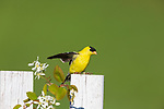 Male American goldfinch perched on a backyard fence.
