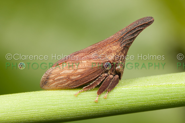 Widefooted Treehopper (Campylenchia latipes), Ward Pound Ridge Reservation, Cross River, Westchester County, New York