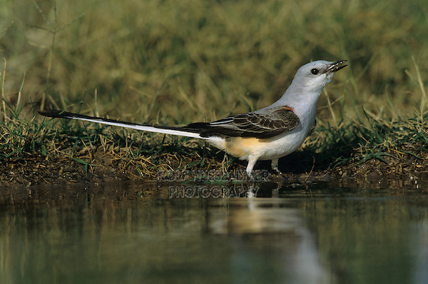 Scissor-tailed Flycatcher, Tyrannus forficatus,adult drinking, Starr County, Rio Grande Valley, Texas, USA