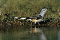 Scissor-tailed Flycatcher, Tyrannus forficatus,adult drinking, Starr County, Rio Grande Valley, Texas, USA