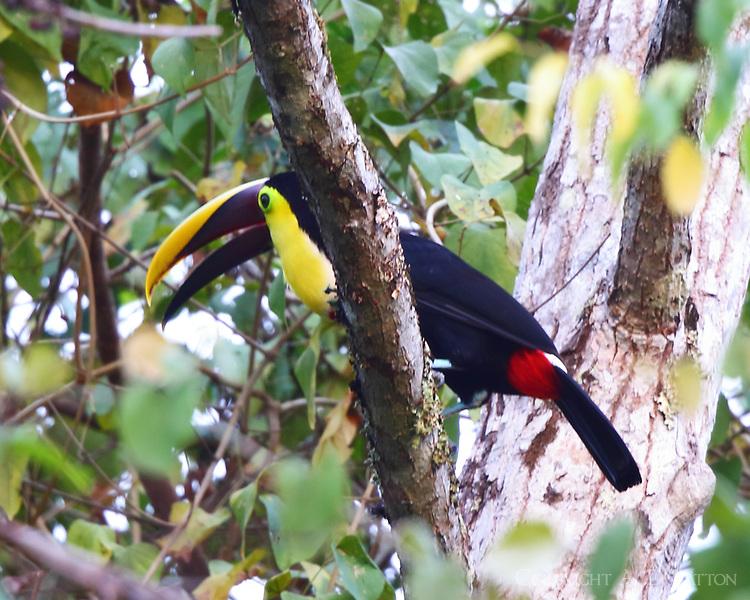 Choco toucan