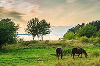 Hästar i en hage på Utö vid Mysingen i Stockholms skärgård