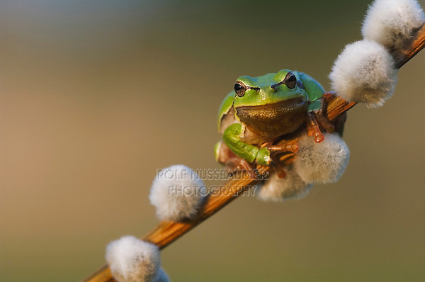 Common Tree Frog, Hyla arborea, adult climbing on pussy willow, National Park Lake Neusiedl, Burgenland, Austria, Europe