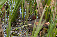 A Little Grebe {Tachybaptus ruficollis} on a Nest at Elmley Marshes, Isle of Sheppey, Kent