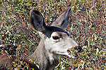 A mule deer doe feeds on rose hips in autumn